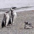 08-Bohnaus-Magellan-Pinguine
