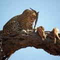 Leopard mit Beute, Chobe-Nationalpark