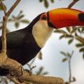 Riesentukan, Pantanal