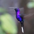 03-soose-CR-Kolibri-Monteverde