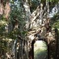 Banyan-Baum - Ranthambhore Fort