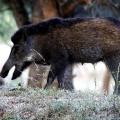 Indisches Wildschwein - Ranthambhore Nationalpark