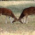 Axishirsche - Ranthambhore Nationalpark