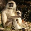 Hanuman Langur - Bandhavgarh Nationalpark