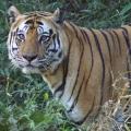Bengalischer Tiger - Bandhavgarh Nationalpark