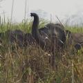 Wilde, asiatische Elefanten - Kaziranga Nationalpark